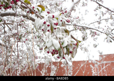 A closeup photo of Crabapple blossoms covered in snow - Stock Photo