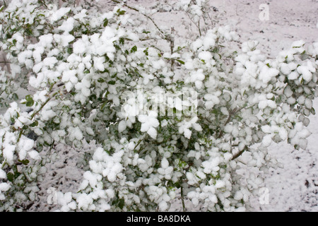 A late spring snowstorm coats a lilac bush with snow - Stock Photo