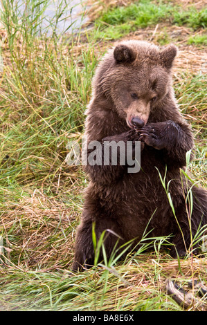 Grizzly Bear cub sitting up with paws together as if in prayer, Ursus arctos horriblis, Brooks River, Katmai, Alaska, - Stock Photo