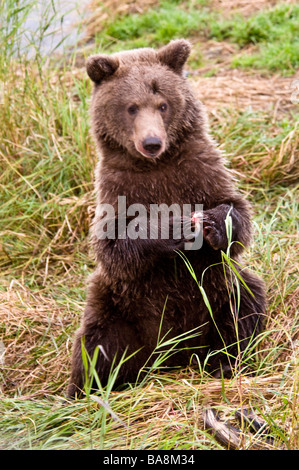 Grizzly Bear cub sitting up, eating with paws together, Ursus arctos horriblis, Brooks River, Katmai National Park, - Stock Photo