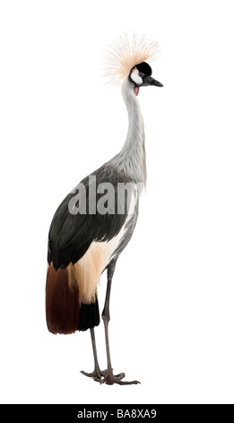 Grey Crowned Crane Balearica regulorum 18 months in front of a white background - Stock Photo