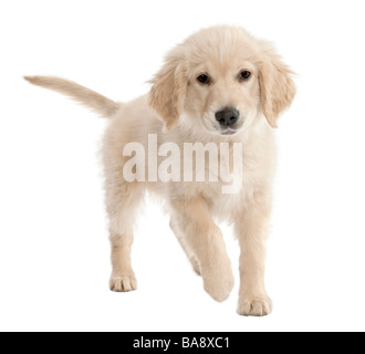 Golden Retriever puppy 4 months old in front of a white background - Stock Photo