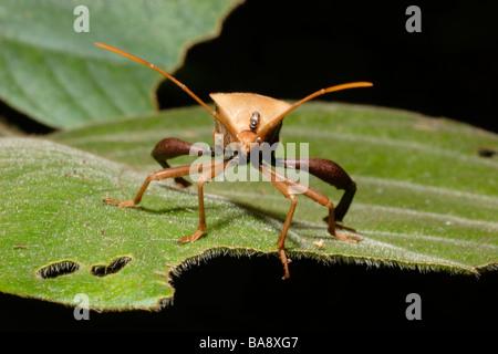 Leaf footed bug Plectropoda cruciata Coreidae in rainforest Cameroon - Stock Photo