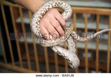 Pantherophis guttatus also called Elaphe guttata snake - common name: corn snake or red rat snake. This morph is - Stock Photo