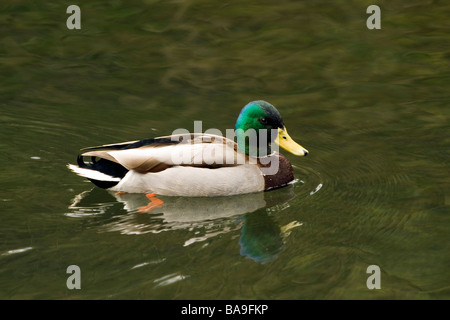 Mallard swimming on River Wye in Derbyshire - Stock Photo