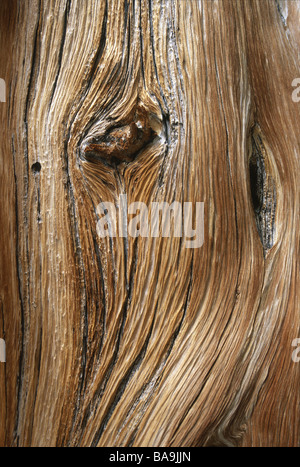 Detail of a bristlecone pine tree on Wheeler Peak in Great Basin National Park Nevada USA - Stock Photo