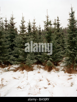 Snow in the forest, Sweden. - Stock Photo
