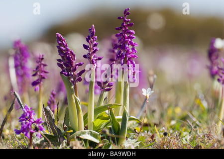 Early Purple Orchid Gotland Sweden - Stock Photo