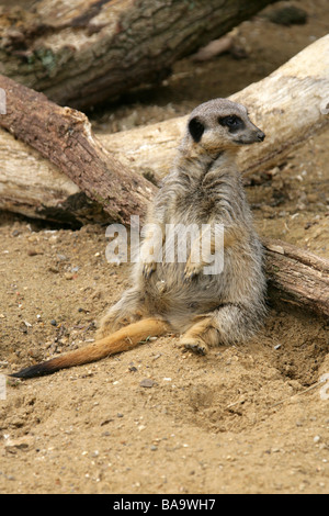 Meerkat, Suricata suricatta, Herpestinae. A Cute Member of the Mongoose Family - Stock Photo