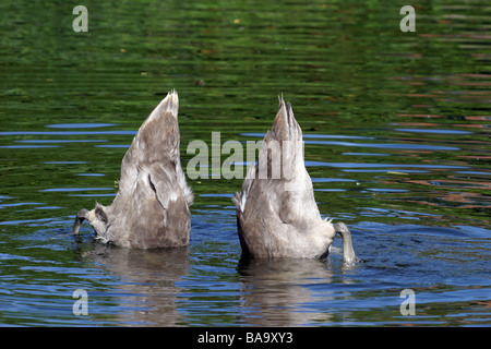 Two swans with their tails in the air feeding on the River Stour at Flatford Mill in Suffolk - Stock Photo