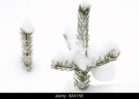 Spruce in snow Sweden - Stock Photo