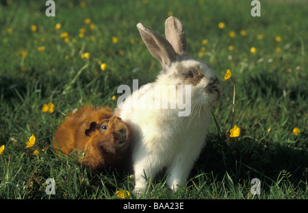 white rabbit and ginger abyssinian guinea pig sitting in buttercup field - Stock Photo