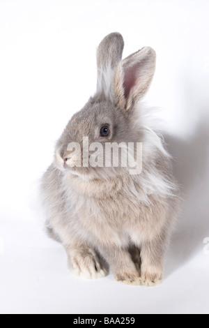 portrait young lionhead cross grey rabbit - Stock Photo