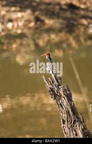 White-throated Kingfisher Halcyon smyrnensis Bandhavgarh National Park Madhya Pradesh Northern India Asia - Stock Photo