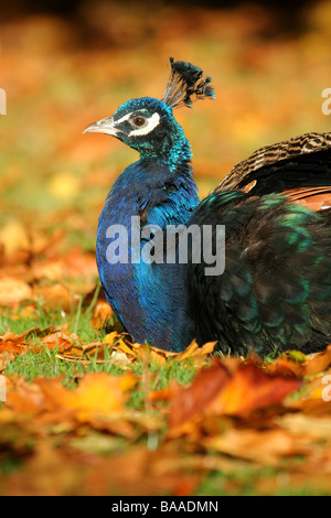 A male peacock Pavo cristatus country park north lincolnshire england great britain - Stock Photo