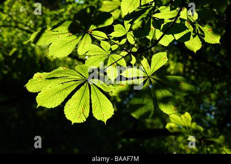 Light shining through Horse Chestnut leaves - Stock Photo