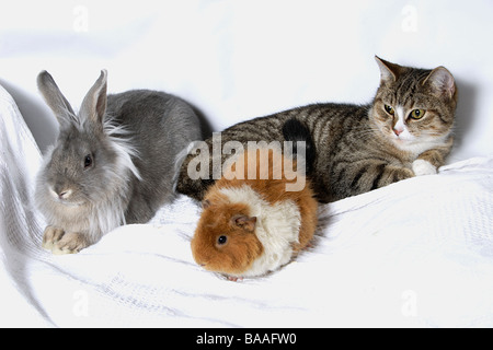 grey cross lionhead rabbit, young cat & guinea pig together - Stock Photo