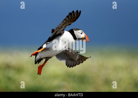 A Puffin Fratercula arctica in flight off the coast of Northumberland England - Stock Photo