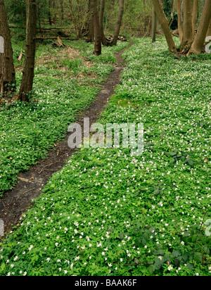 Wood anemones nemorosa. Norsey Wood, Billericay, Essex, England, UK. - Stock Photo