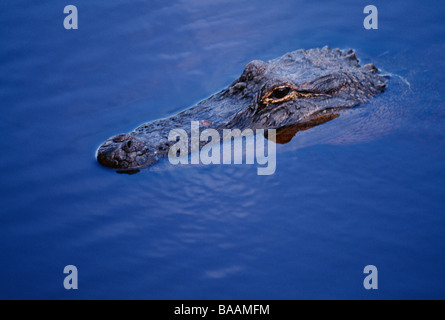 Crocodile in water elevated view - Stock Photo