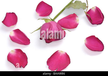 Red rose petals and red rose - Stock Photo