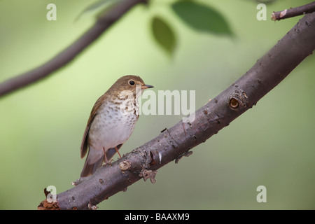 Swainson's Thrush Catharus ustulatus swainsoni Spring migrant sitting in a tree - Stock Photo