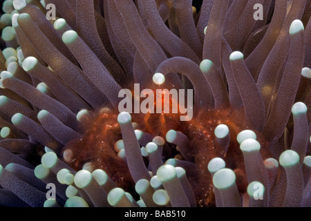 A hairy orange Orangutan Crab hides in a Plate Coral at his home in Horse Shoe Bay, Rinca Island, Komodo, Indonesia. - Stock Photo