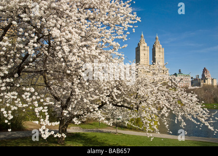 Cherry Blossoms in Central Park New York - Stock Photo