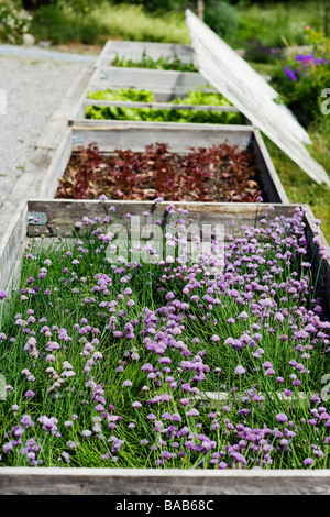 Hotbeds with herbs, Sweden. - Stock Photo