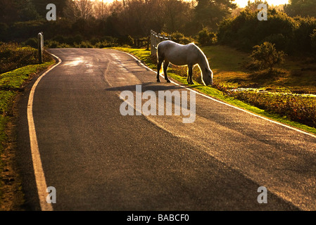 A free ranging pony grazing by the side of the road in early evening sunshine. New Forest National Park, Hampshire, - Stock Photo