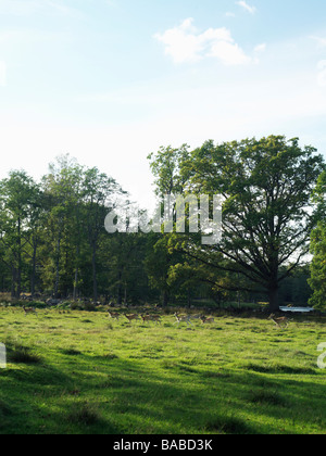 Roe deer in an enclosed pasture Smaland Sweden - Stock Photo