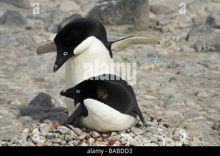 Breeding pair of Adelie penguins Pygoscelis adeliae on nest of small stones Paulet Island Antarctic Peninsula Antarctica - Stock Photo