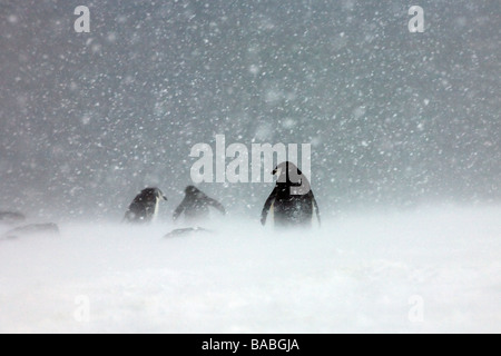 Chinstrap Penguins Pygoscelis antarctica in snowstorm on Orcadas Base Laurie Island South Orkney Islands Antarctica - Stock Photo