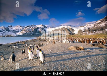 Penguins and elephant seals South Georgia - Stock Photo