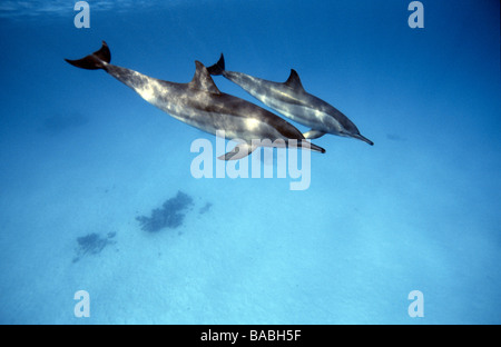 Red Sea dolphins Marsa Alam Samadai Bay, underwater, clear water, blue water, scuba, diving, ocean, sea, snorkel, - Stock Photo