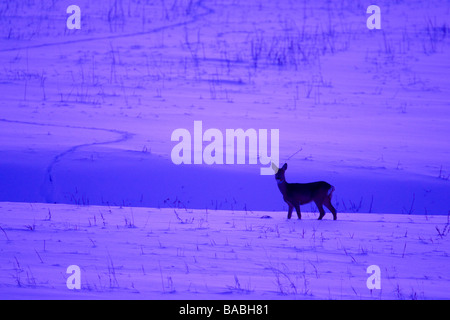 Roe deer on a snow covered field in the sunset - Stock Photo