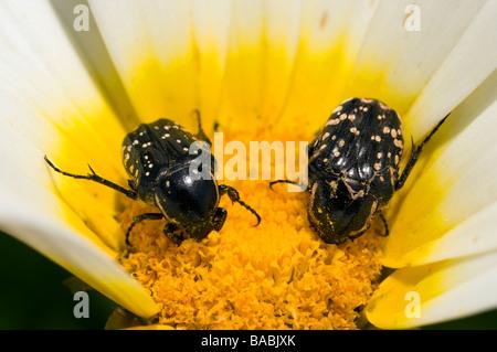 Beetles feeding on a wild flower Kas Turkey - Stock Photo