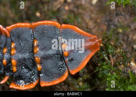 Trilobite Beetle Duliticola paradoxa female Kinabalu National Park Sabah Borneo Malaysia - Stock Photo