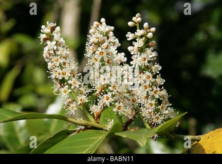 Cherry Laurel or English Laurel, Prunus laurocerasus, Rosaceae - Stock Photo
