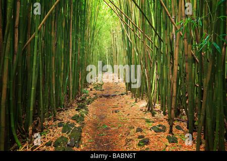 Bamboo forest along the Pipiwai trail to Waimoku Fall in the Kipahulu area of Haleakala National Park in Maui Hawaii - Stock Photo