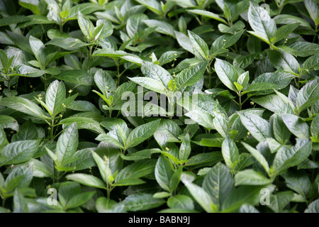 Small Balsam, Impatiens parviflora, Balsaminaceae