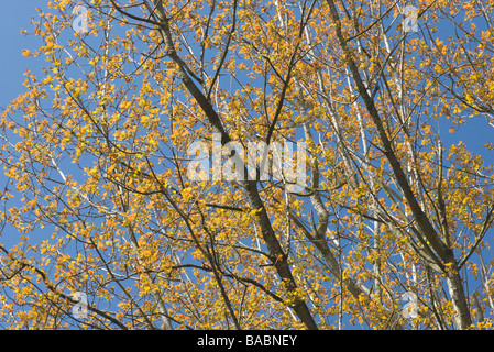 Woodland canopy against Mediteranean blue sky - Stock Photo