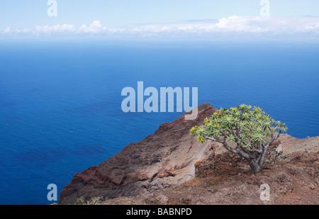 Euphorbia balsamifera, the Balsamiferous Spurge, on the La Merica plateau on La Gomera - Stock Photo