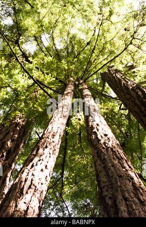 Sequoia Forest in California