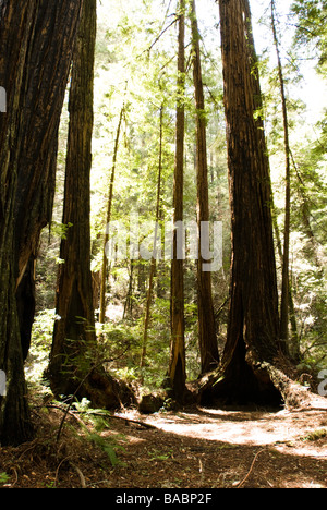 Sequoia Forest in California - Stock Photo