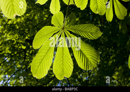 Horse Chestnut leaf palmate spring new - Stock Photo