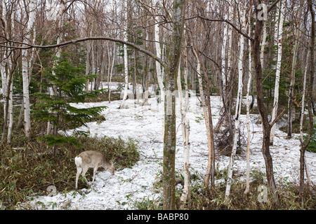 Ezo Sika deer grazing amongst the snow in the Shiretoko National Park on Shiretoko peninsula Hokkaido Japan - Stock Photo