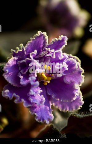 African violet (Saintpaulia ionantha) close-up - Stock Photo