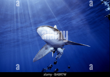 Red Sea Oceanic white tip shark Longimanus Elphistone Reef from Marsa Alam, blue water, sun beams, clear water, - Stock Photo