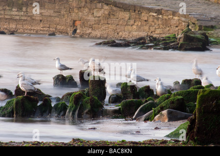 Seagulls on the rocks in the morning surrounded by silky water. - Stock Photo